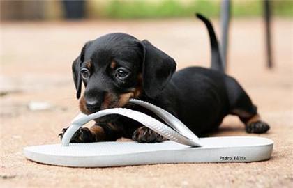 狗狗为什么爱咬拖鞋